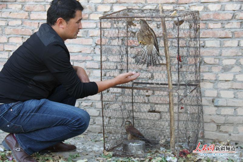 新疆裕民县野生动物救护站工作人员正在查看猎隼伤情