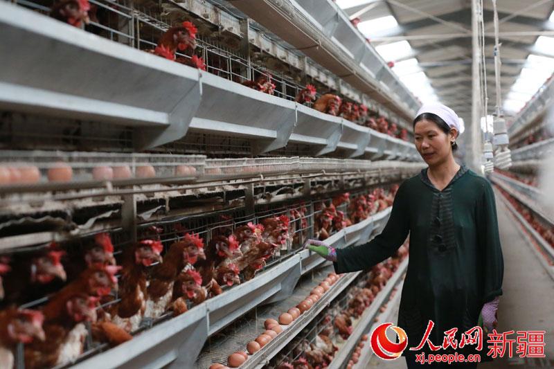 焉耆县专业v专业小学合作社带动农民增收(图)新源蛋鸡图片
