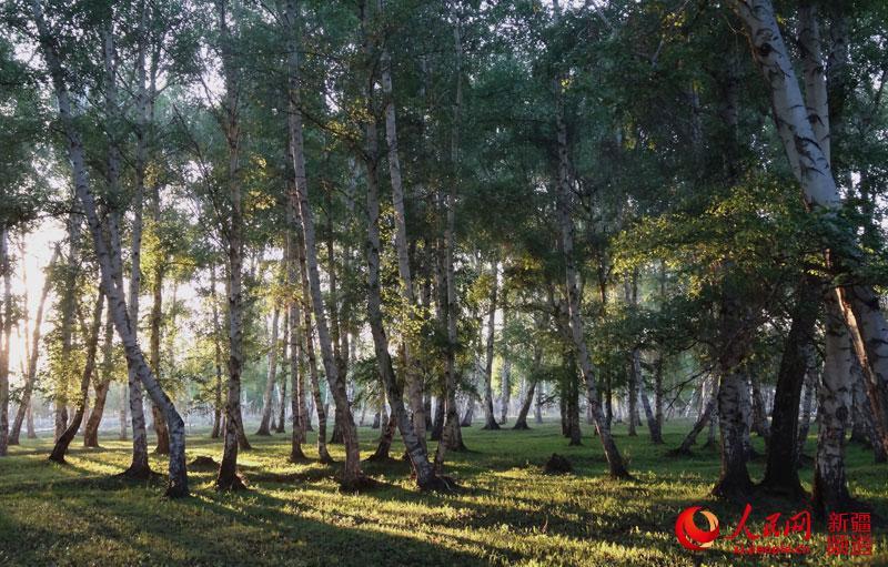 新疆哈巴河县五月白桦林夕阳映入林间美轮美奂