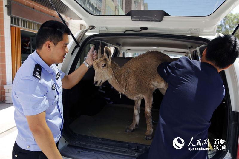 昨天下午,我在农田播种,休息时,在大渠边见到一只野羊,身体很弱,走不动路,我就打110报警了。6月4日,笔者在新疆博州精河县茫丁乡皇宫南村见到发现北山羊的维吾尔族村民马木提江毛托乎提。 当天,接到报警后,精河县公安局荒漠次生林森林派出所民警立即驱车赶到距县城20余公里的鑫源水电站附近,看到这只野羊。经仔细查看,确定这是一只生病的北山羊。汇报领导后,民警将北山羊带回县城,找当地兽医检查、治疗。 检查后,兽医介绍,这是一只3岁的母羊,体重约25公斤,体表无明显伤痕。当时体温较高,是伤风感冒,治疗后不会