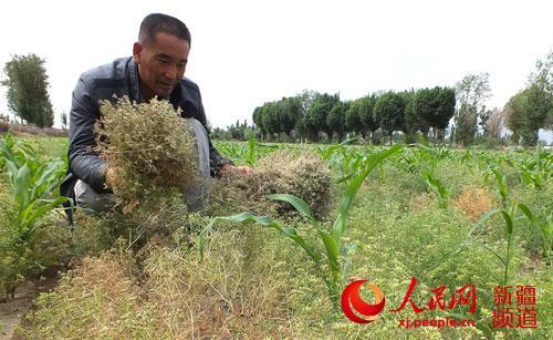 焦作焉耆县2.3万亩小茴香进入采收期(图)小学新疆新生图片
