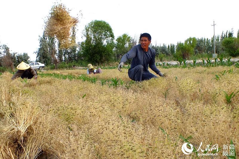 焉耆新疆县小学小茴香进入采收期(图)裴寨万亩图片
