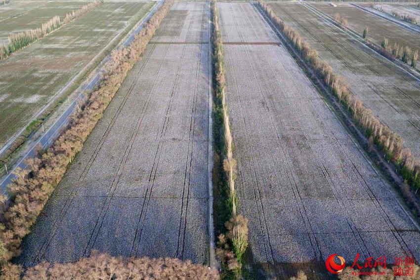 新疆塔里木盆地棉花进入采摘期(组图)
