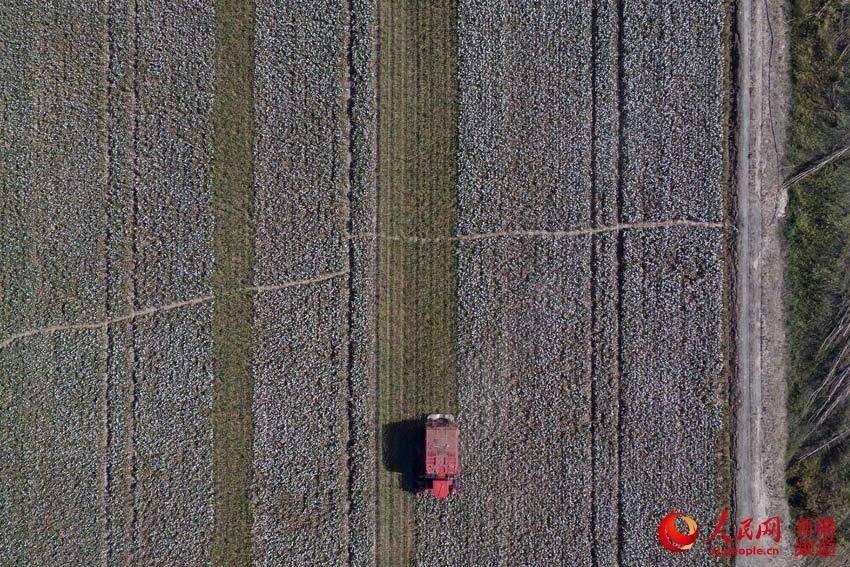 航拍新疆塔里木盆地棉花基地(组图)