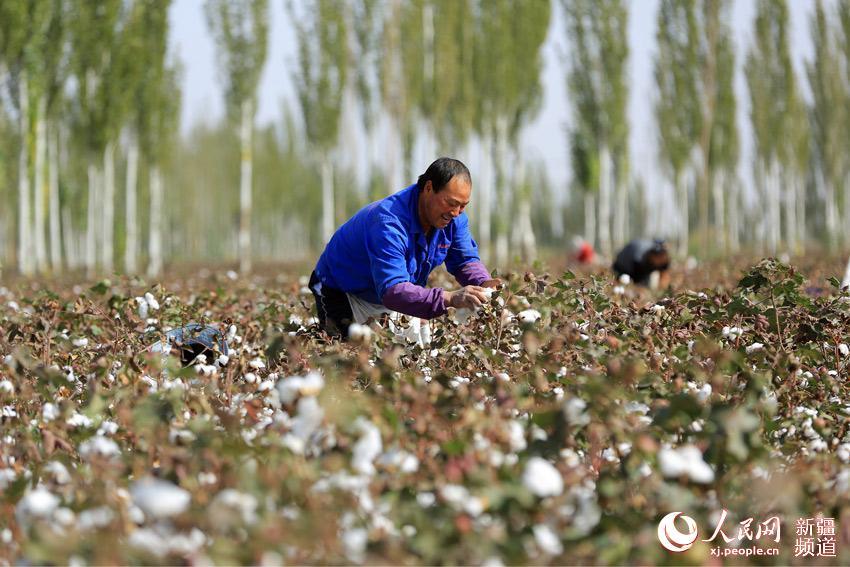 湖畔的博湖县的农作物进入秋收高峰期,当地农牧民群众趁着秋高