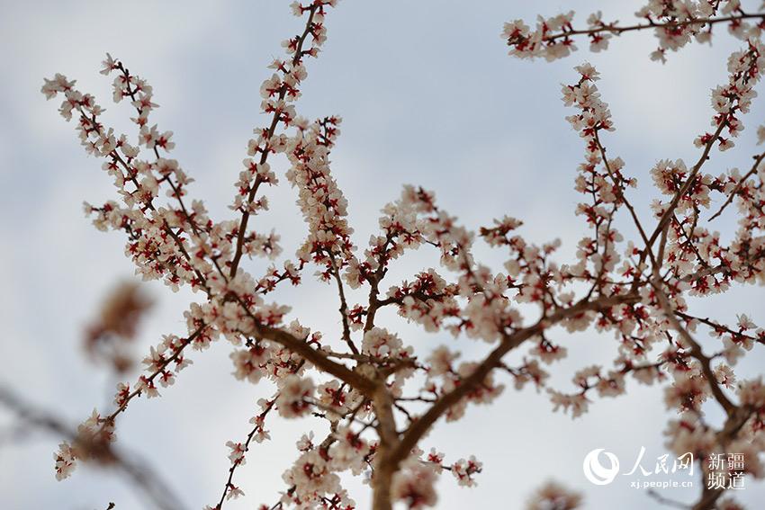 每年3月中旬杏树就已吐露春意