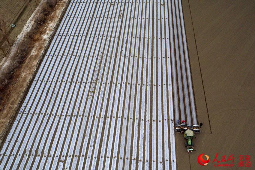 世界最大产棉区:新疆塔里木盆地棉花开播(组图)
