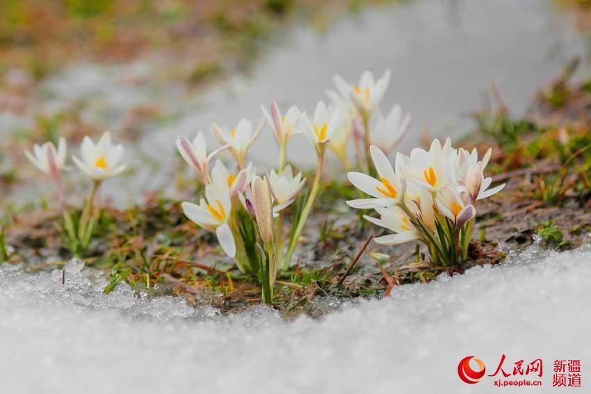 窒息的美!伊犁那拉提草原野百合顶冰而开(组图)【4】