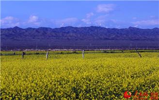 新疆托克逊县千亩油菜花汇成金色花海