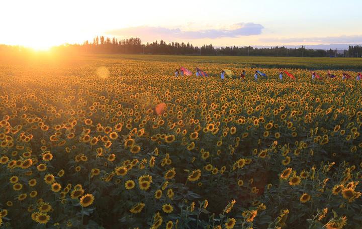 新疆克拉玛依3000亩观赏向日葵绽放