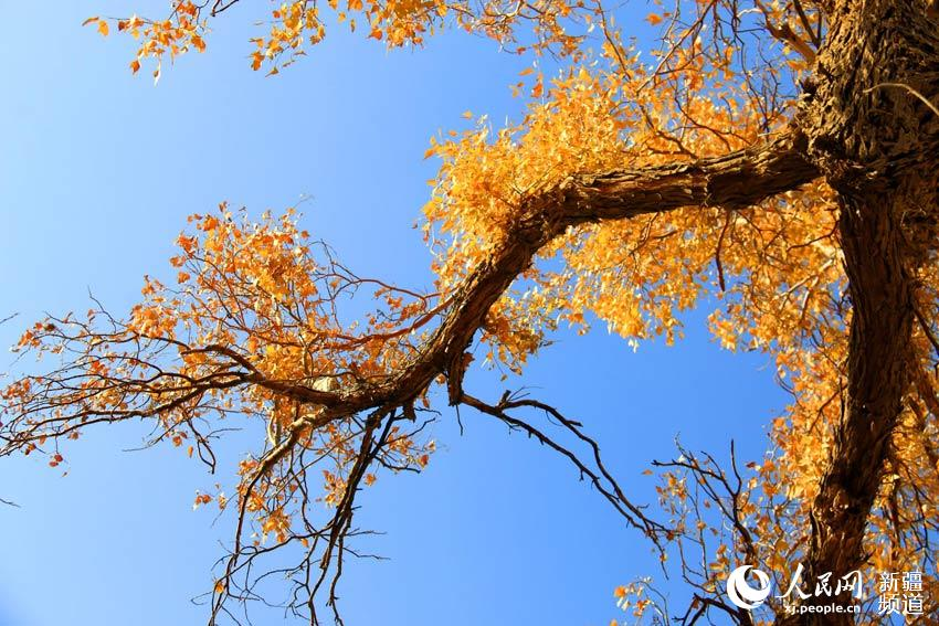 ,一片上百年的胡杨林坚韧挺拔,风景美如画. 进入10月以来,这里
