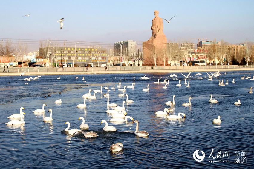 库尔勒:越冬天鹅数量增加     寒冬的新疆库尔勒杜鹃河上,成群的天鹅等越冬禽鸟悠然自得。