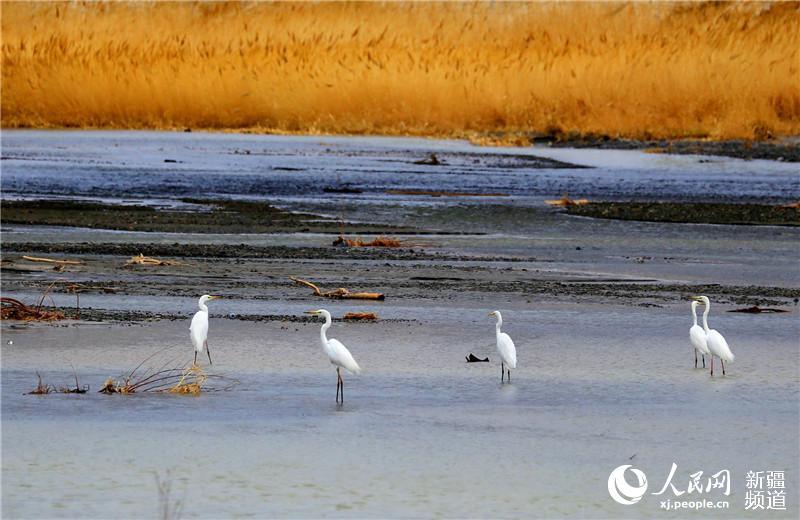 新疆托克逊县白杨河成为候鸟天堂