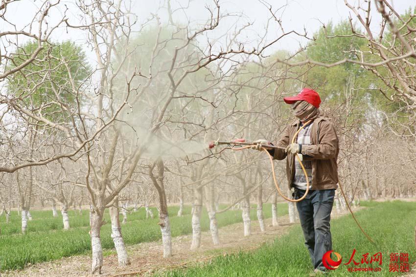 新疆若羌县:23万亩枣树喷洒石硫合剂提质增效
