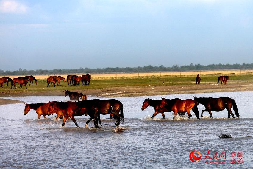 新疆昭苏:牧场处处见马群