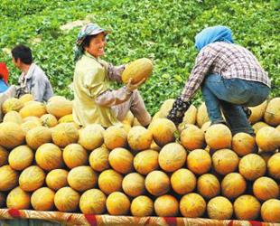 河南援疆:为了那哈密瓜更加香甜