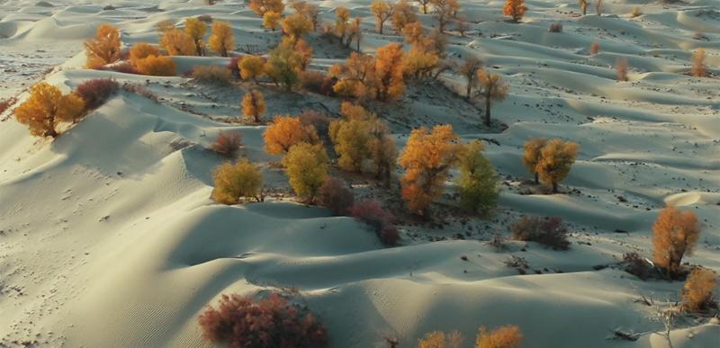 新疆沙雅县400余万亩原生态胡杨林迎八方客
