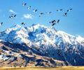 新疆昭苏:天山脚下候鸟飞  新疆昭苏良好的自然生态环境吸引了灰鹤、天鹅、鹳在此栖息,被游客们称为鸟类天堂。