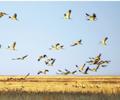 新疆库鲁斯台湿地灰鹤起舞   近日,大群灰鹤在新疆裕民县库鲁斯台湿地翩翩起舞。