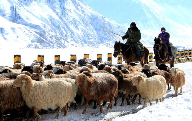 新疆昭苏:百万牲畜转场进天山