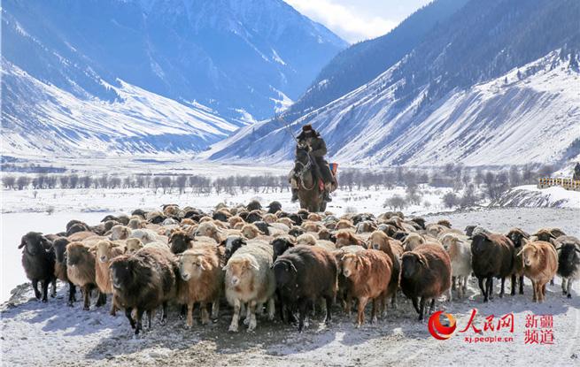 新疆伊犁河谷冬牧忙(组图)
