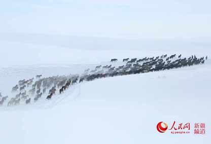 新疆昭苏:雪地万马奔腾(组图)