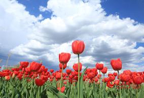草原百万亩郁金香盛开