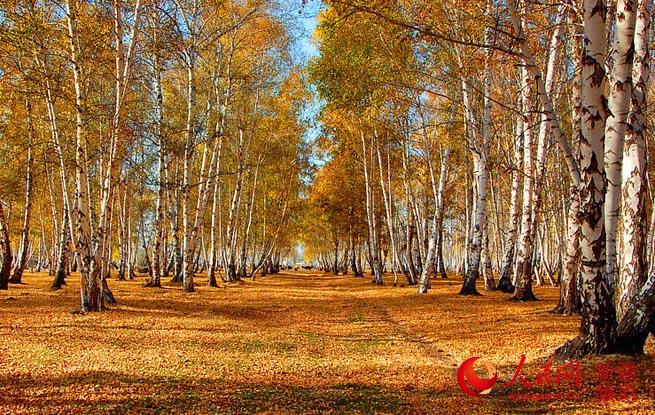 新疆哈巴河县:金秋油画白桦林