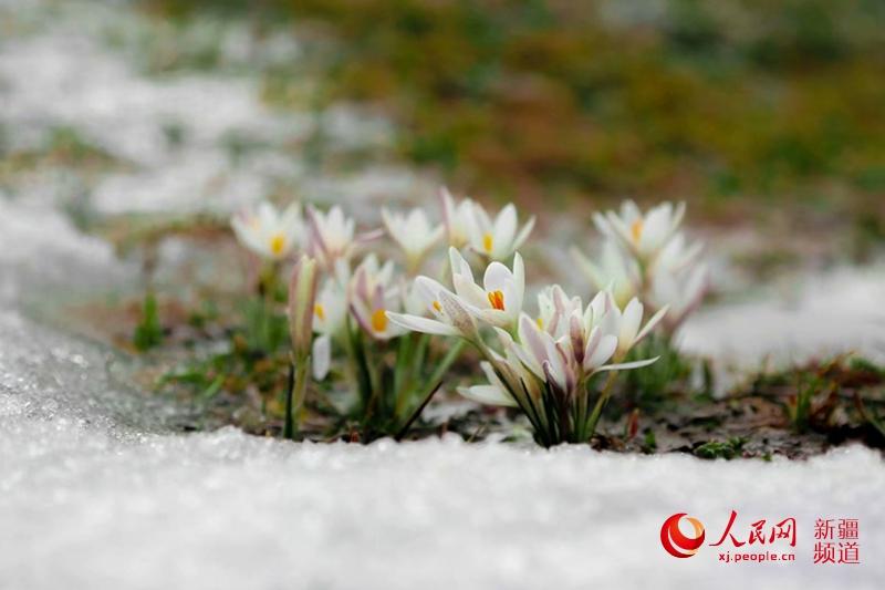 """新疆""""空中草原""""那拉提的野百合,在冰雪消融中悄然绽放。杨晓千 摄"""