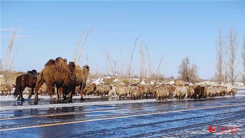 新疆:牧民转场正当时(组图)【2】