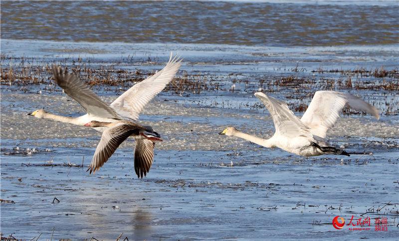 新疆布尔津县迎来春季候鸟迁徙季(组图)