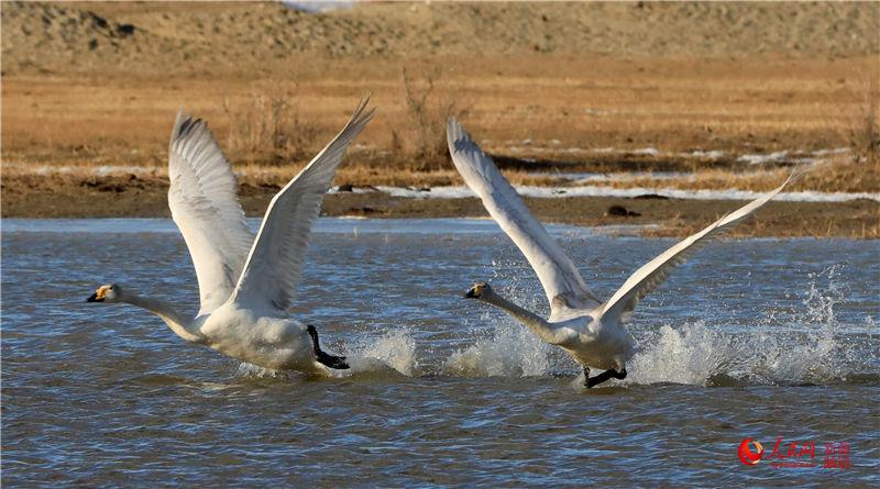 新疆布尔津县迎来春季候鸟迁徙季(组图)【7】