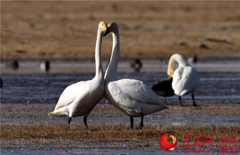 新疆巴音布魯克濕地進入候鳥遷徙高峰期(組圖)