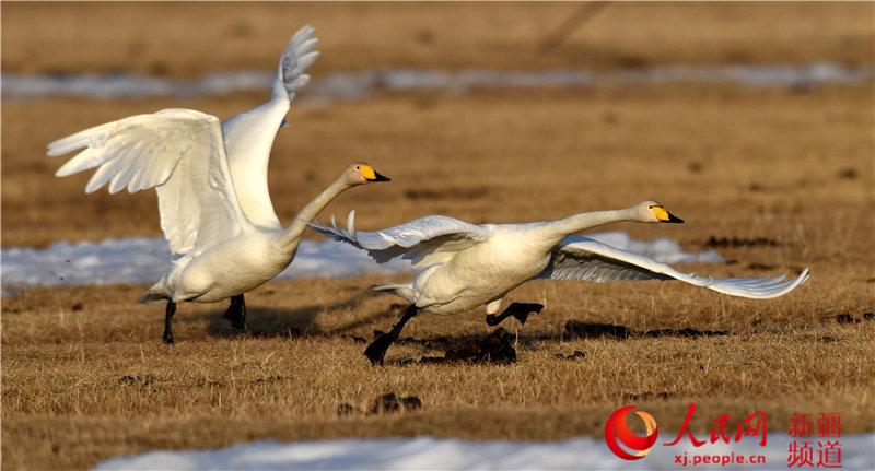 新疆巴音布魯克濕地進入候鳥遷徙高峰期(組圖)【6】