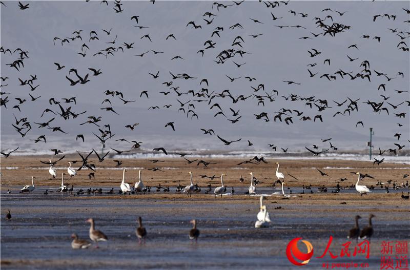 新疆巴音布魯克濕地進入候鳥遷徙高峰期(組圖)【7】