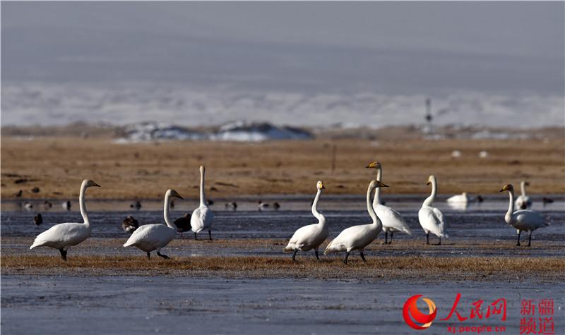 新疆巴音布魯克濕地進入候鳥遷徙高峰期(組圖)【8】