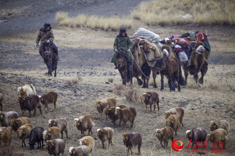 新疆托里县哈萨克族牧民风雨兼程转场忙。李边江 摄