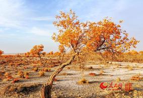 秋色浸染 金色胡杨