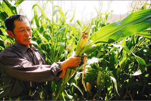 月28日晚,乌鲁木齐县托里乡乌什城村的村委会副主任王金忠又是一夜没睡,他和几个村民又守在了村子的玉米地里,如果剩下的这几十亩地失守,则意味着今年村子里的200多亩地的玉米则面临着绝收的危险。这个危险不是天灾,也不是人祸,而是来自旁边齐尔呼啦山上的野猪。当晚,还有一个人同样一夜未眠,那就是托里乡羊圈沟村后山牧场牧民呼玛拉汗,因为那天,又有狼闯进了他家的羊圈,幸亏发现的早,只有两只羊被狼咬死,在过去的2009年,呼玛拉汗家因为狼灾,损失了上万元。   近年来,因为野生动物给农牧民造成损失的新闻越来越多,这